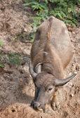 Vodní buvol — Stock fotografie