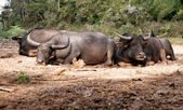 Sleeping water buffalo — Stock Photo