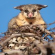 Brush tail possum in tree — Stock Photo