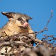 Brush tail possum in tree - Stock Photo