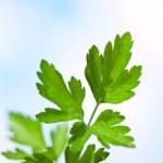 Parsley twig. — Stock Photo