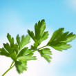 Stock Photo: Parsley twig.
