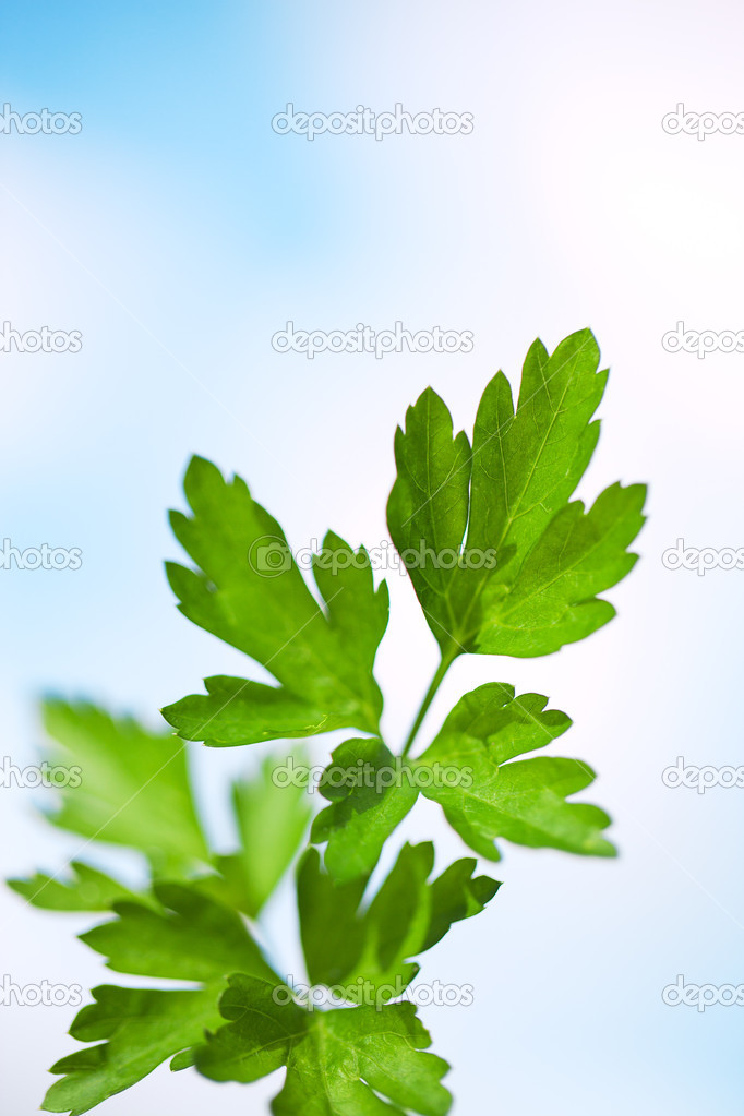 Parsley twig against sky.  Stock Photo #12653062