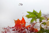 Maple leaves in rain. — Stock Photo