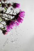 Asters . — Stock Photo