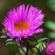 Stock Photo: Aster,