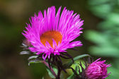 Aster, — Stock Photo