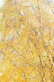 Yellow birch. — Stock Photo