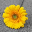 Yellow gerbera. — Stock Photo