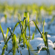 Stockfoto: Wheat in snow.