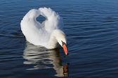 白色天鹅. — 图库照片
