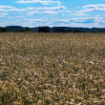 Grain field. — Stock Photo #20031193