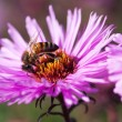 Bee and flower. — Stock Photo