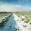 Young wheat under snow. — Foto Stock