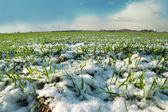 Young wheat under snow. — Stock Photo