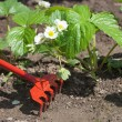 Stock Photo: Weeding of strawberries.