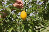 Lemon. — Stock Photo