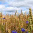 Wheat and cornflowers. — Foto de Stock