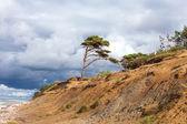 バルト海沿岸の孤独な松. — ストック写真