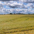 Barley field. — Stock Photo #28883879
