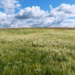 Barley field. — Stock Photo #28883883