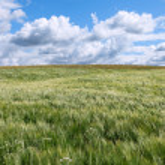 Barley field. — Stock Photo #28883885