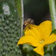 Bee and cucumber flower. — Stock Photo