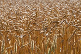 Зрелая пшеница. — Стоковое фото
