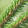 Fir twig. — Stock Photo