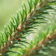 Stock Photo: Fir twig.