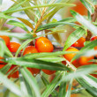 Berries of sea buckthorn. — Stock Photo