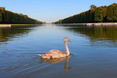 Swan in park of Versailles, France. — Stock Photo