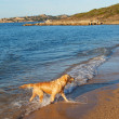 Retriever on beach. — Stok fotoğraf
