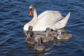 Swan family. — Stock Photo