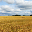 Stock Photo: Wheat field.