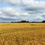 Wheat field. — Stock Photo #33940645