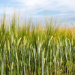 Barley in field. — Stock Photo