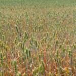 Wheat field. — Stock Photo #33940657
