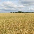 Wheat field. — Stock Photo #33940679