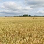 Wheat field. — Stock Photo #33940679