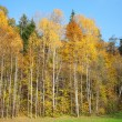 Yellow birches. — Stock Photo