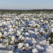 Stock Photo: Green wheat under white snow.