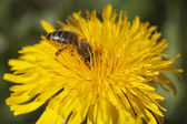 Dandelion and bee. — Stock Photo