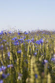 Cornflowers. — Stock Photo