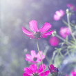 Royalty-Free Stock Photo: Pink cosmos flowers