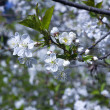 Cherry tree blossom — Stock Photo #12659144