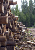 Felled trees near coniferous forest — Stock Photo