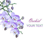 Group of bright lilac orchids — Stock Photo
