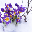Early spring purple Crocus — Stock Photo #14348399