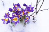 Early spring purple Crocus — Stock Photo